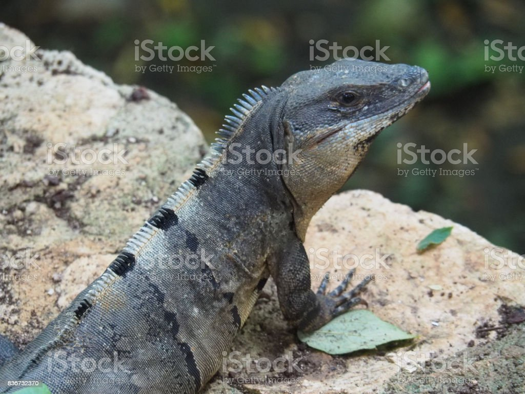 Closeup of an iguana resting on a stone stock photo