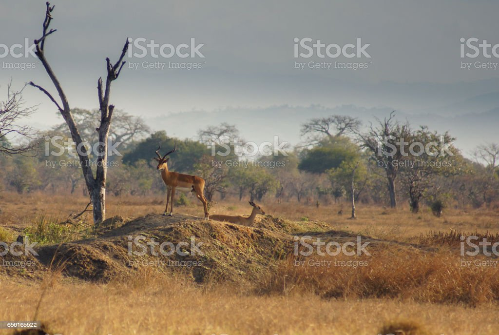 A close-up of an impala during golden hour through high grass stock photo