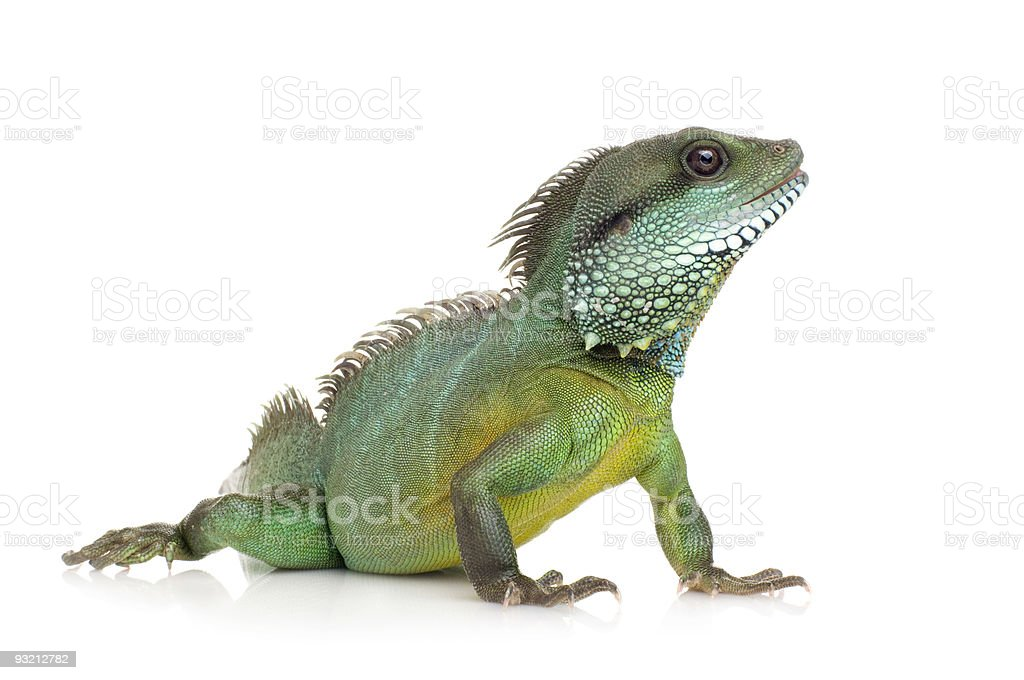Close-up of an Indian Water Dragon Physingathus cocincinus stock photo