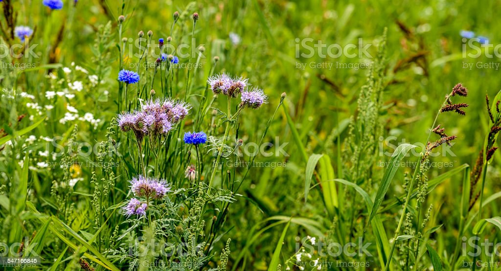 Closeup of an insect friendly field edge with wild plants stock photo