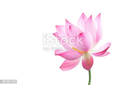 Close-up of an isolated pink bloomed lotus flower