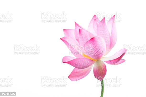 Closeup of an isolated pink bloomed lotus flower picture id997687232?b=1&k=6&m=997687232&s=612x612&h=kfuanq0ke5gsy994g2wruu8iqkd nee1qbz02q wxjw=