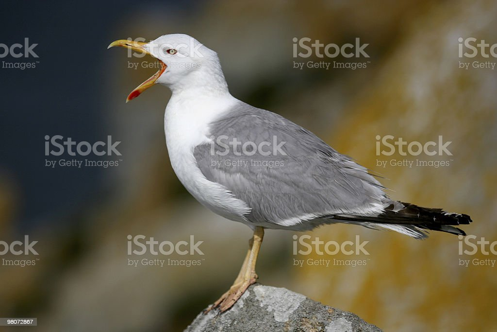 Close-up of an isolated seagull on a blurred background royalty-free stock photo