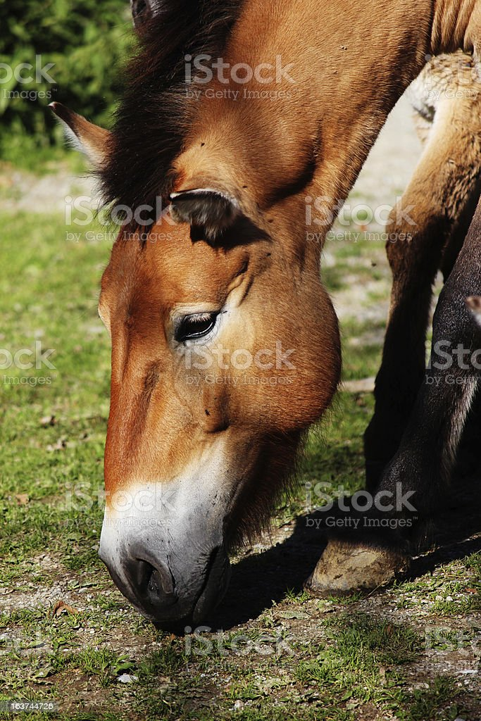 Close-Up of an Mongolian wild 'Przewalski' horse royalty-free stock photo