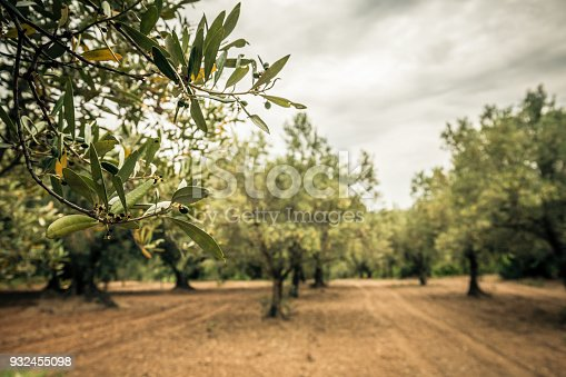 istock Close-up of an olive branch with green olive 932455098