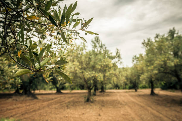 Close-up of an olive branch with green olive Olive grove and cloudy sky olive oil stock pictures, royalty-free photos & images