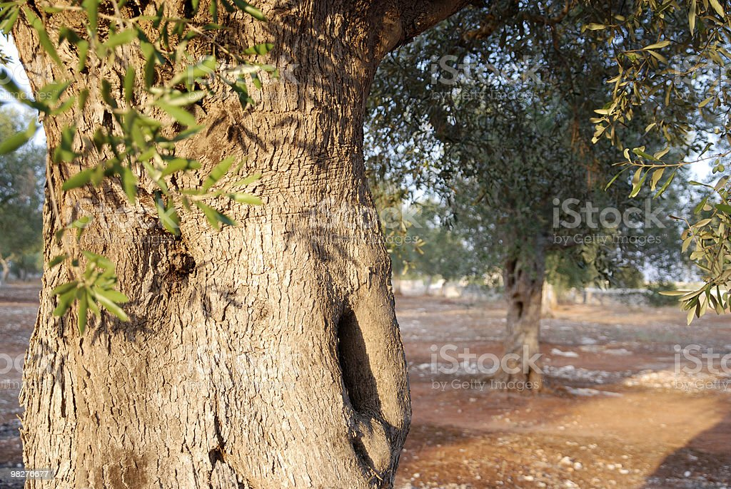 closeup of an olive trunk royalty-free stock photo
