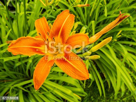 A closeup of a beautiful orange day lily in a green spring garden.