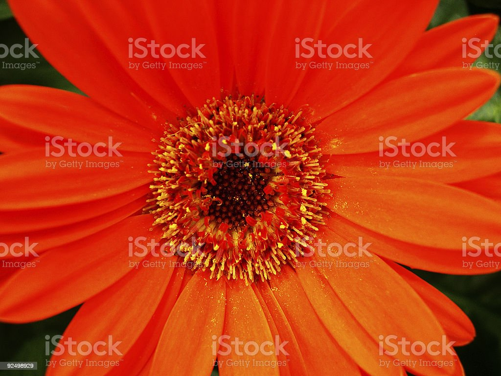 Close-up of an orange flower. royalty-free stock photo