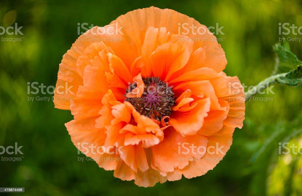 XXXL: Close-up of an orange oriental poppy stock photo