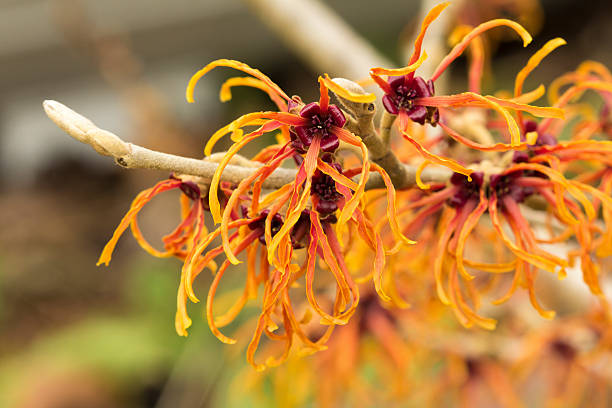 Closeup of an Orange Witch Hazel Flowers in Winter Jelena Witchhazel Blooming in Fall saxifragales stock pictures, royalty-free photos & images