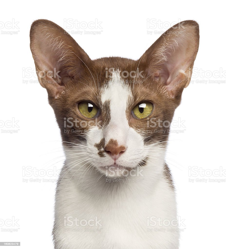 Close-up of an Oriental Shorthair looking at camera royalty-free stock photo