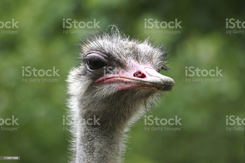 Closeup of an ostrich stock photo