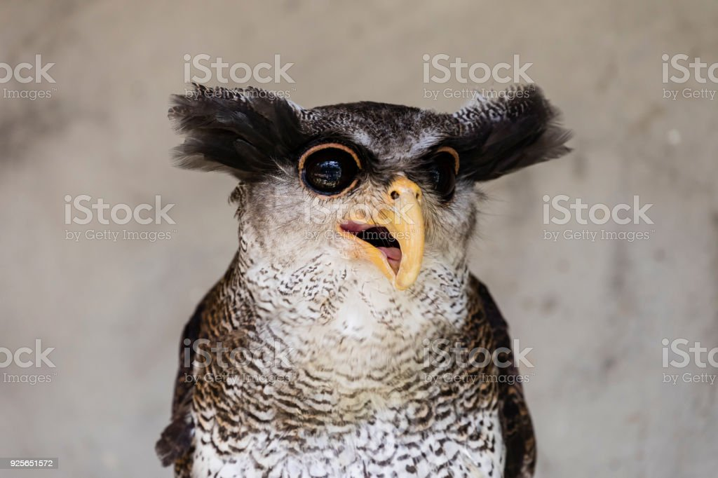 Close-up of an owl with a crazy and funny face expression