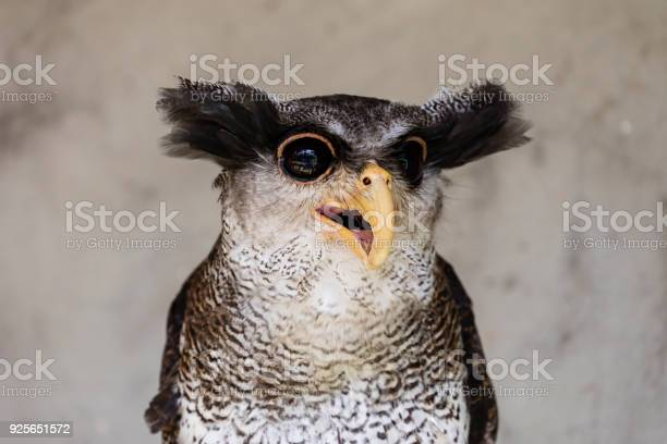 Closeup of an owl with a crazy and funny face expression picture id925651572?b=1&k=6&m=925651572&s=612x612&h=qff6jeq uegppphminucy0yd9imifzafsa mbedoooc=