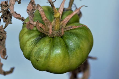 Close-up of an unripe tomato on a dried stem