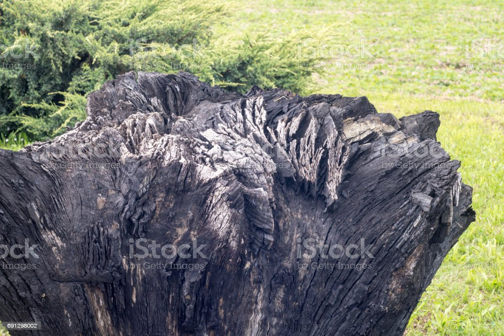 closeup of ancient carbonized fossil bog oak stump, 3000 years old, on grass in back yard stock photo