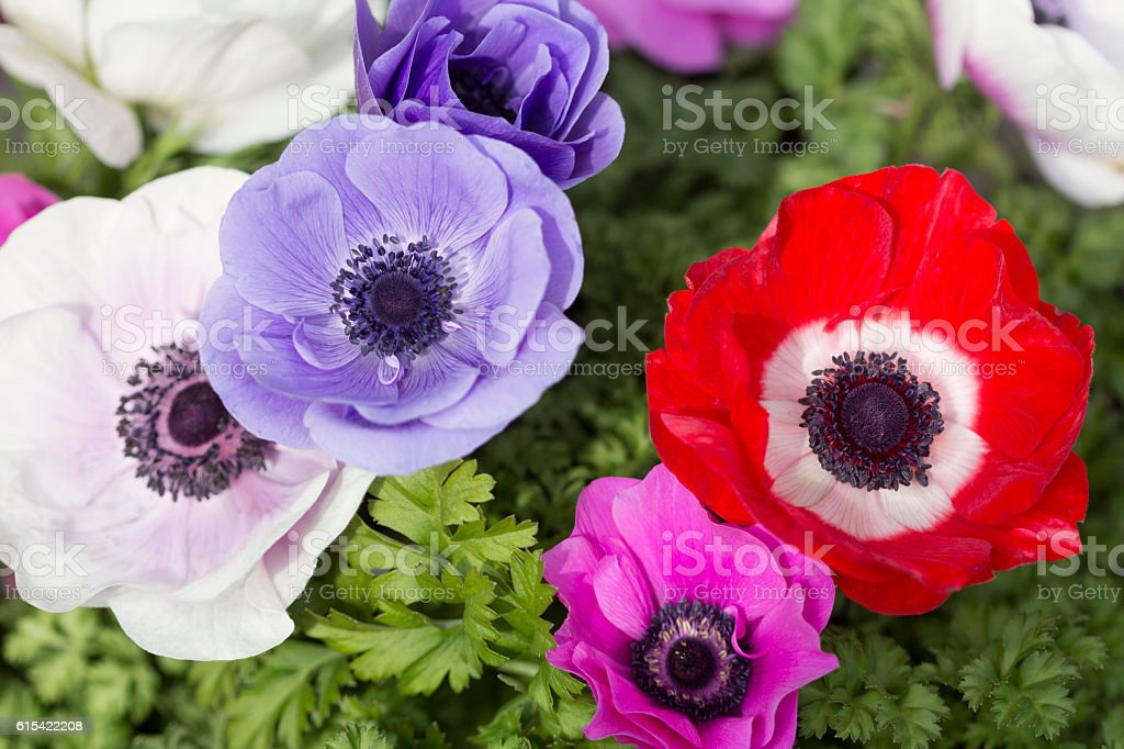 Close-up of anemones stock photo