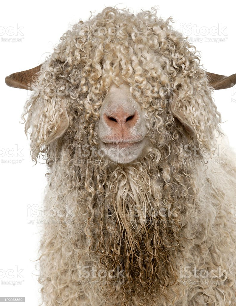 Close-up of Angora goat, white background. stock photo