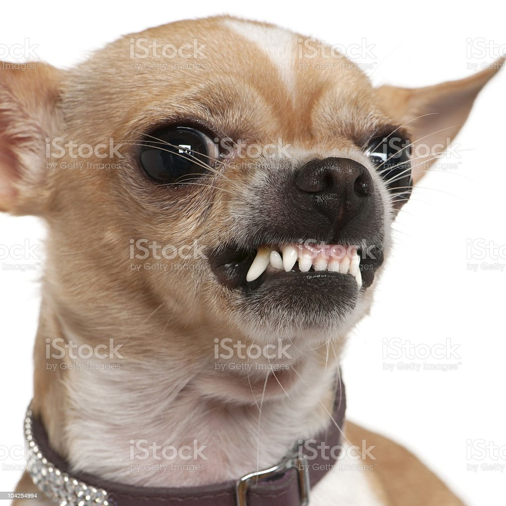 Close-up of angry Chihuahua growling. stock photo