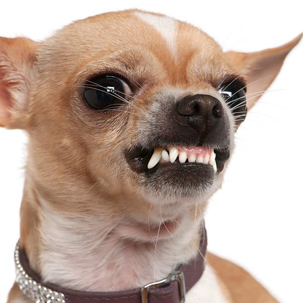 gros plan de colère chihuahua rugissant. - chihuahua chien de race photos et images de collection