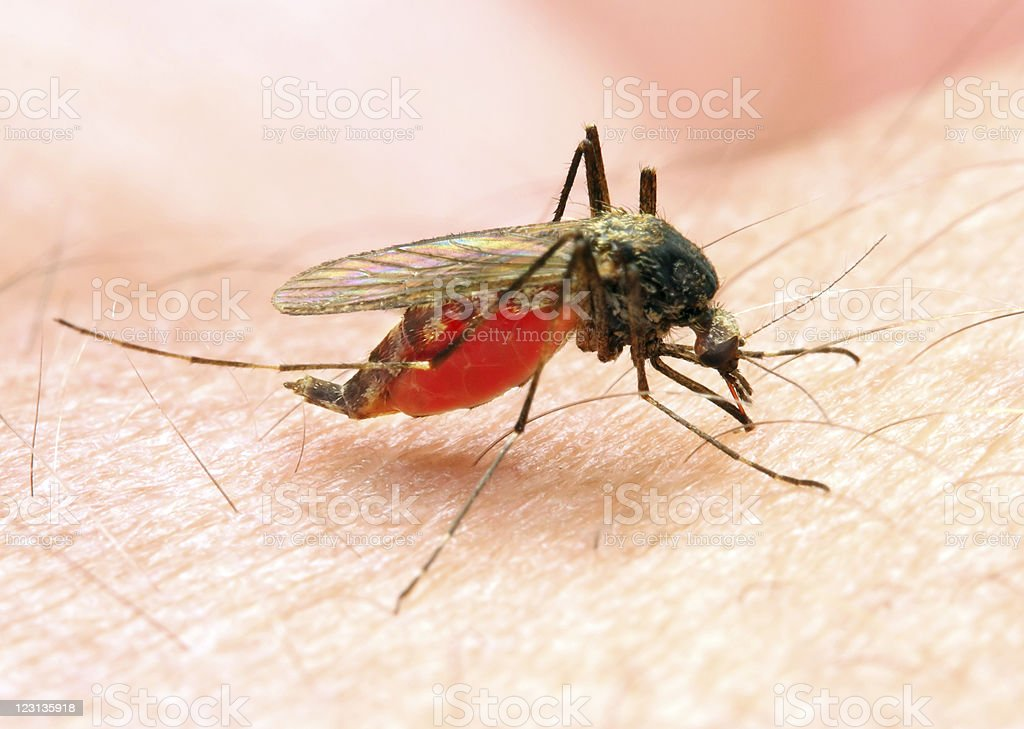 Close-up of Anopheles mosquito biting a human stock photo