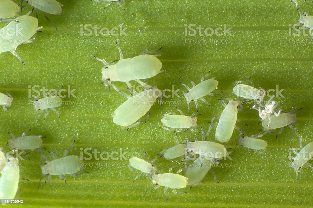 Close-up of aphids of different sizes stock photo