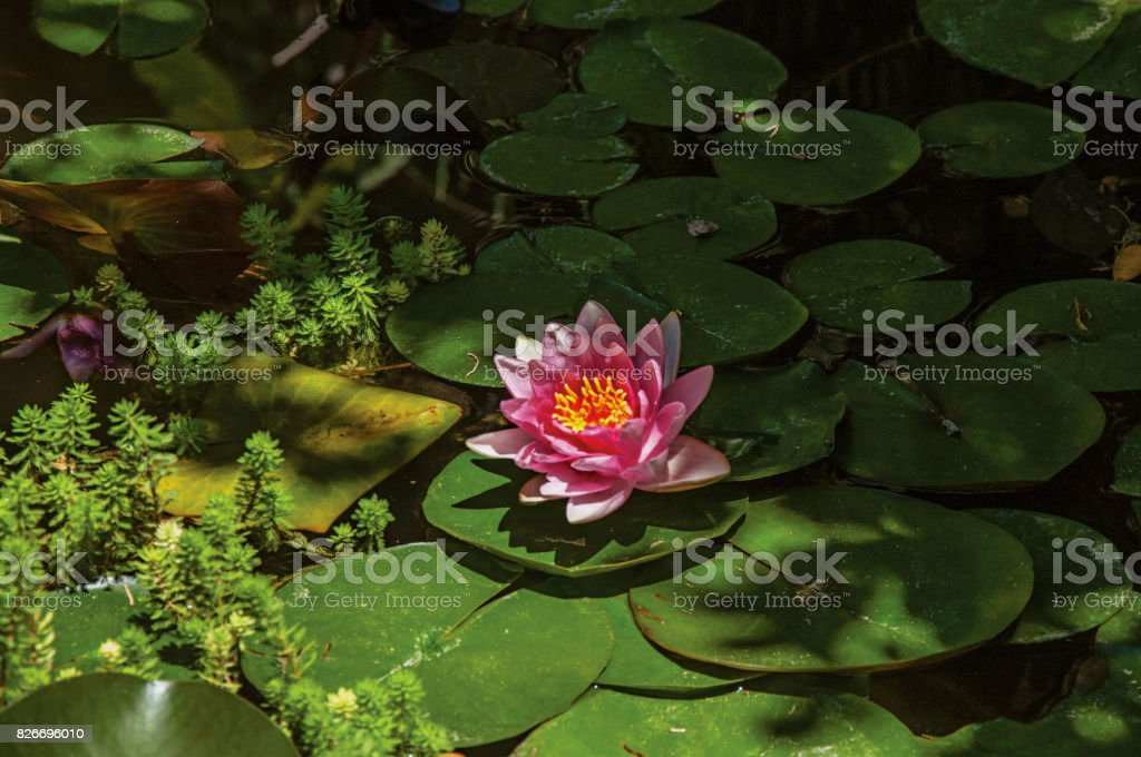 Close-up of aquatic plant flower on a pond at the Gardens of the Fountain, in Nimes. stock photo