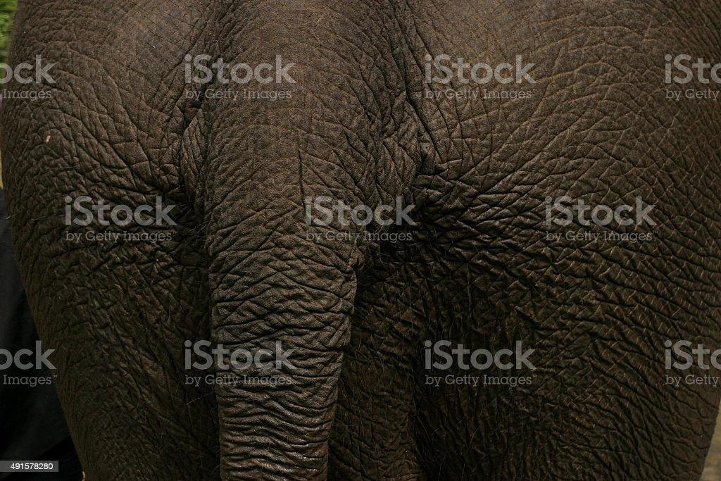 Nahaufnahme der asiatischen elephant Haut und-tail-Schnittform – Foto