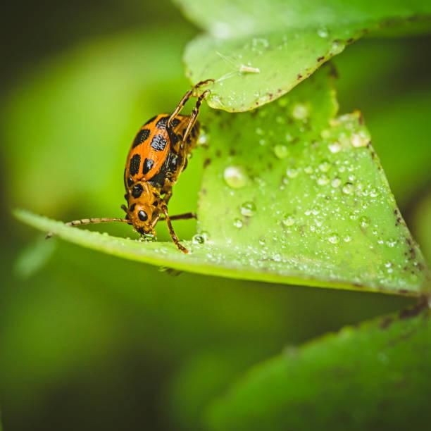 nahaufnahme der spargel käfer trinkwasser auf blatt. - regenzeit stock-fotos und bilder