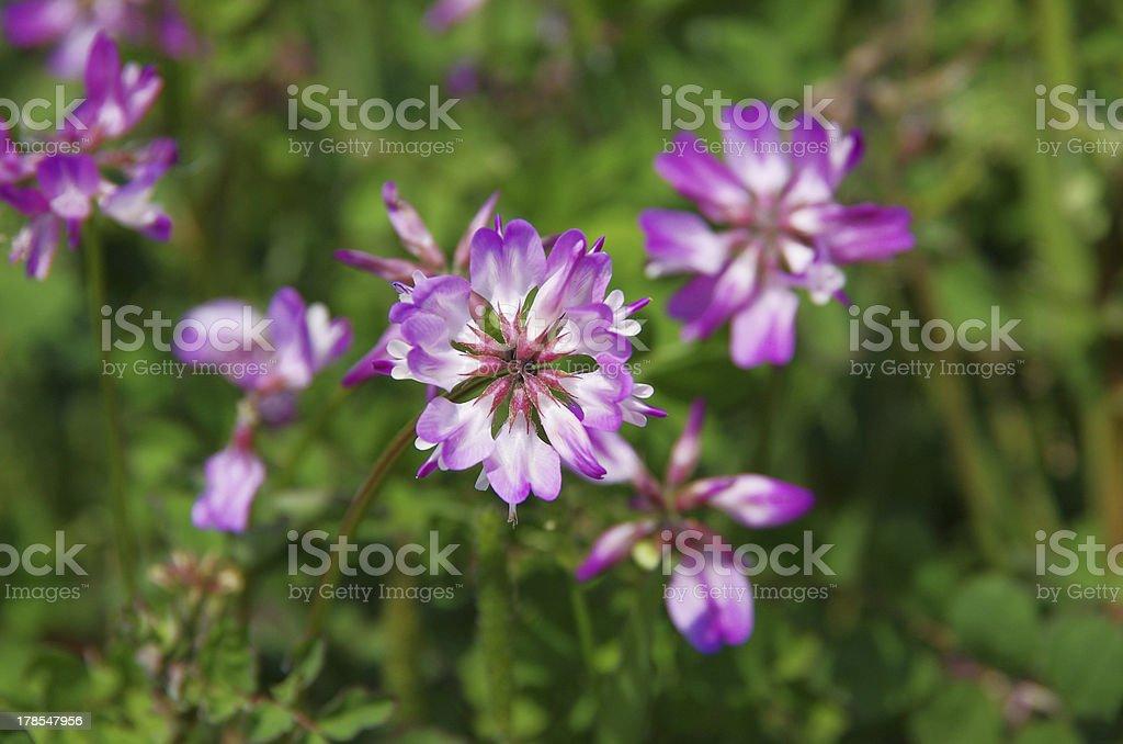 closeup of astragalus stock photo