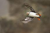 Close-up of Atlantic puffin in flight, Scotland, UK.