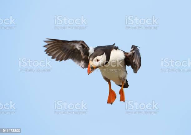 Closeup of atlantic puffin in flight picture id941473800?b=1&k=6&m=941473800&s=612x612&h=rpfi80eivwsxzb8uactdulgofxsfxmhyvbqixzd7e5a=