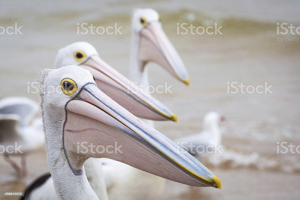 Closeup of Australian Pelican stock photo