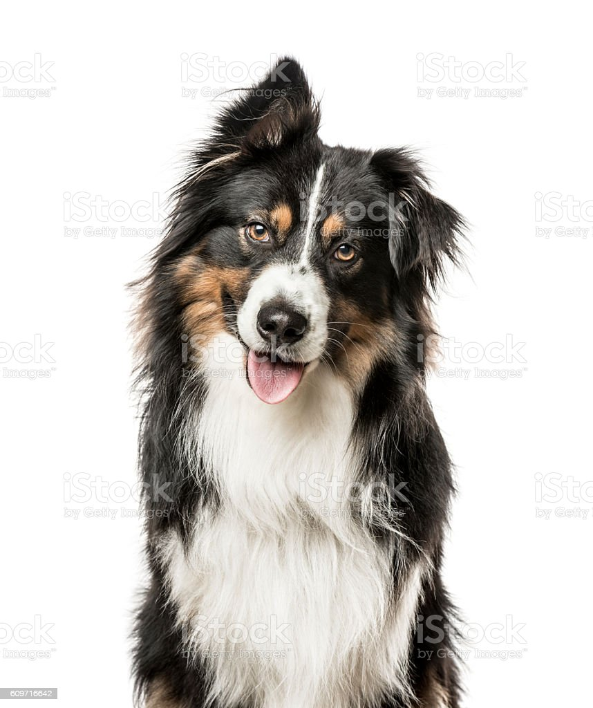 Close-up of Australian Shepard with one ear up stock photo