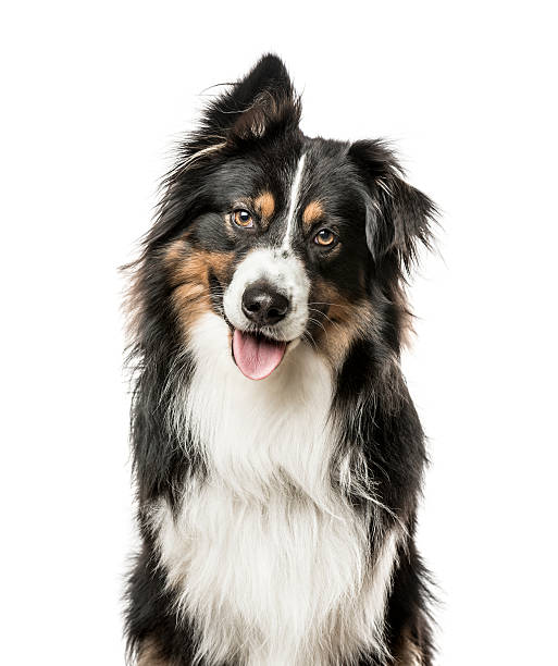 Close-up of Australian Shepard with one ear up Close-up of Australian Shepard with one ear up, 4 years old, Isolated on white australian shepherd stock pictures, royalty-free photos & images