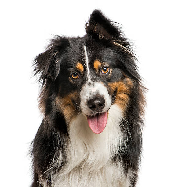 Close-up of Australian Shepard with one ear up – Foto