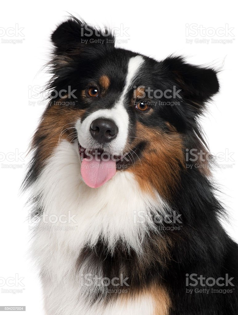 Close-up of Australian Shepherd dog, 2 years old, stock photo