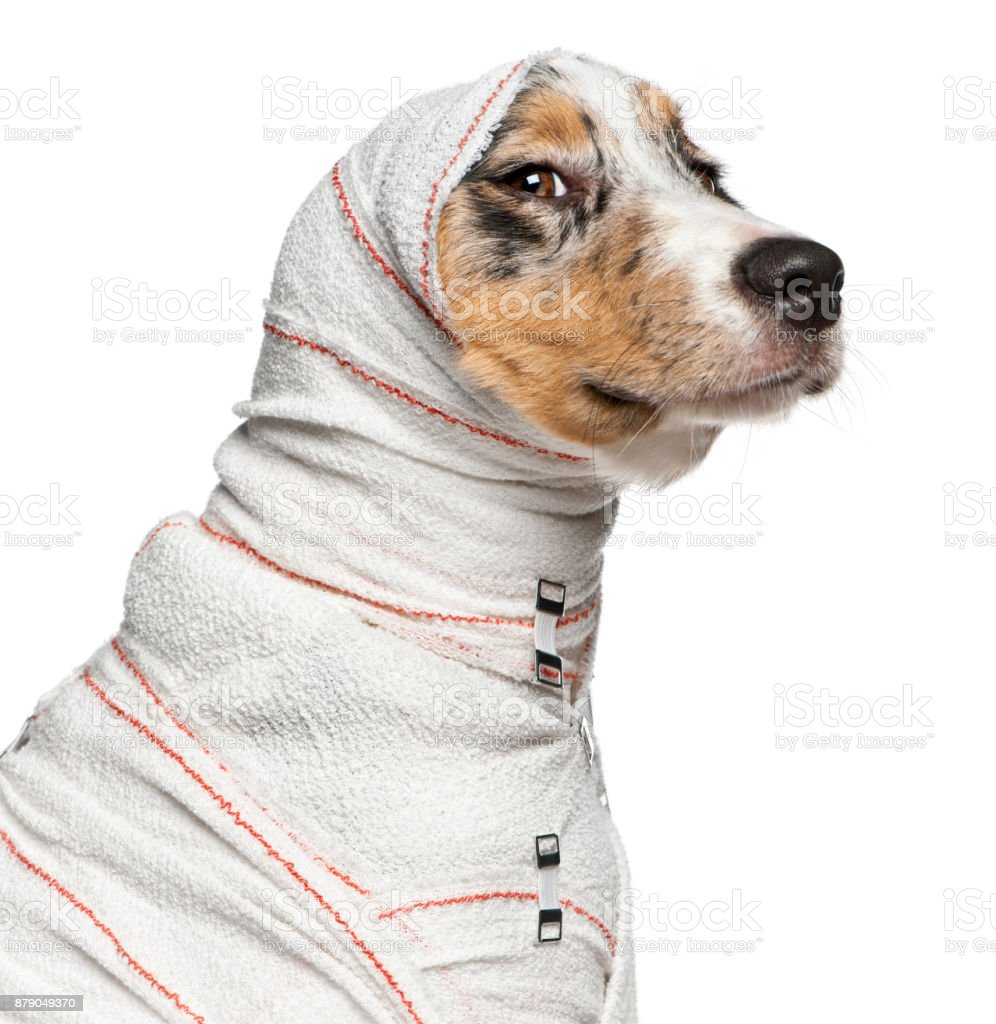 Close-up of Australian Shepherd puppy in bandages, 5 months old, in front of white background stock photo