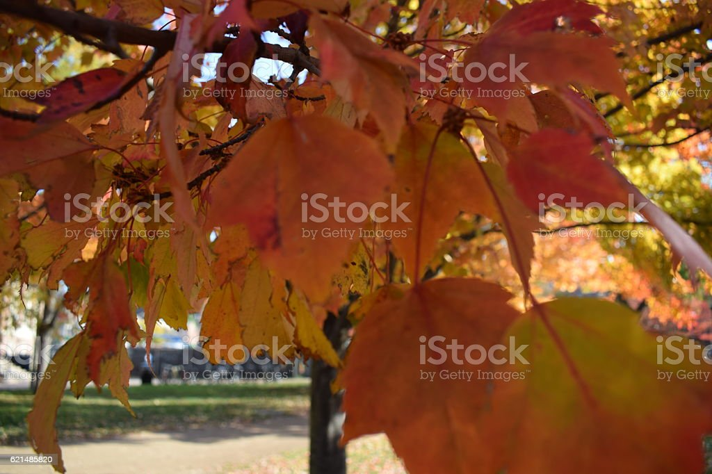 Close-up of autumn leaves in New England photo libre de droits
