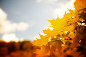 Beautiful orange maple leaves and blue sky