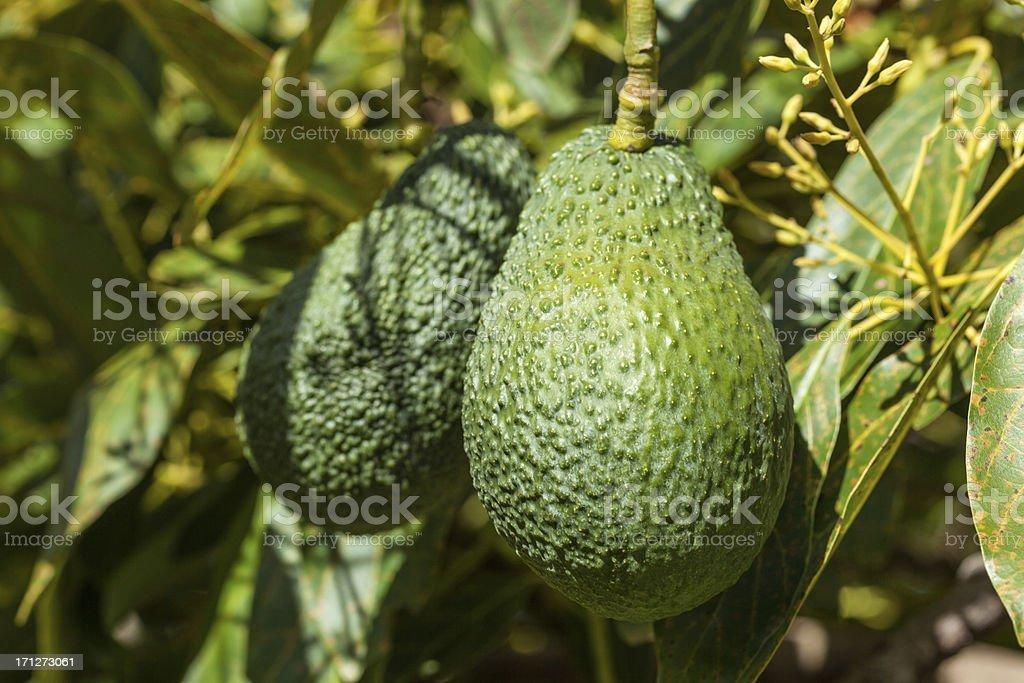 Close-up of Avacado Growing On Tree stock photo