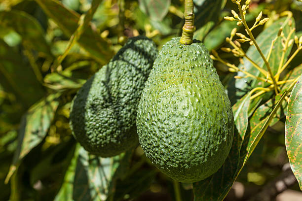 Close-up of Avacado Growing On Tree stock photo