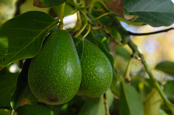 Close-up of Avacado Rippening on Tree stock photo
