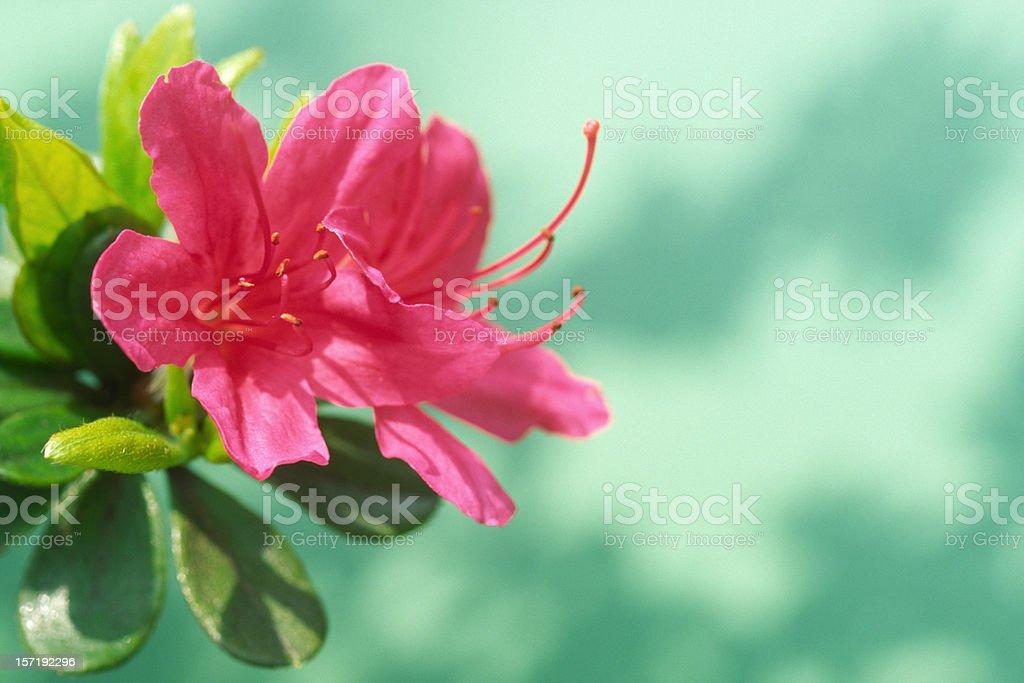 Close-up of azalea stock photo