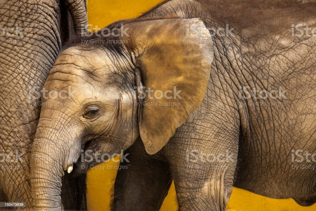 Closeup of Baby African Elephant Along Side Mother stock photo