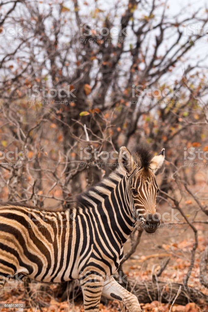 Close-Up of Baby Zebra in Savannah, South Africa, Mapungubwe Park stock photo