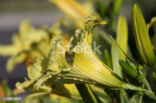 closeup of back of daylily bloom
