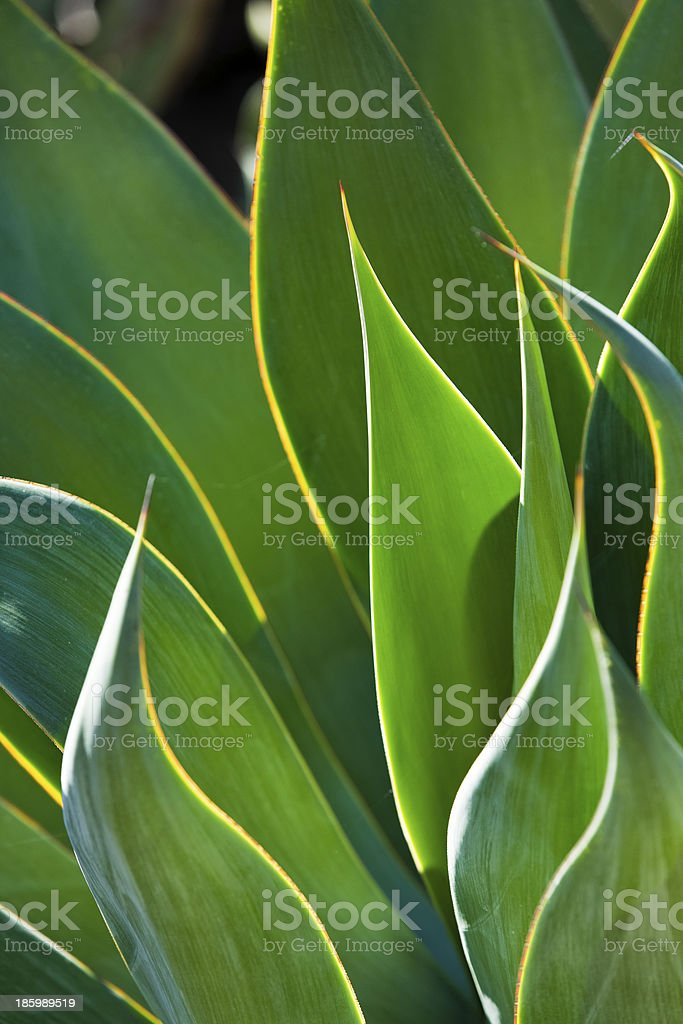 Close-Up of BackLit Century Plant Leaves royalty-free stock photo