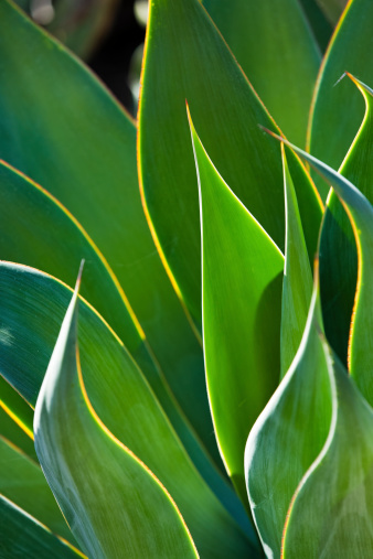 Closeup Of Backlit Century Plant Leaves Stock Photo - Download Image Now